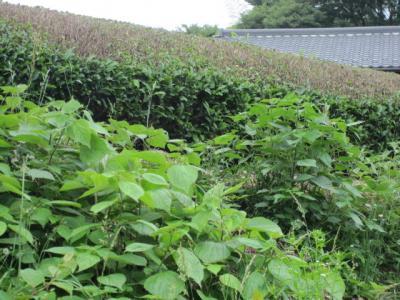 清川の茶畑―深刈り―