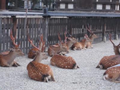 奈良公園の鹿、カメラ慣れしている雰囲気