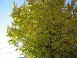 大手公園の銀杏の木