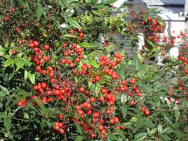 大手公園で赤い実が光っていました。