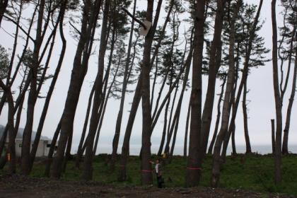 浪板海岸の松林