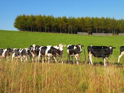 牛たちの自由な移動
