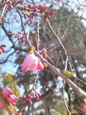 枝垂桜326-2