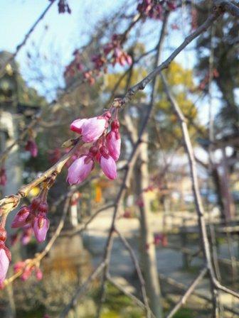 枝垂桜326-3