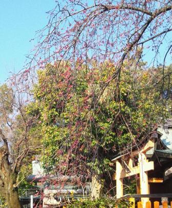枝垂桜326-1