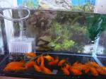 金魚 (11)