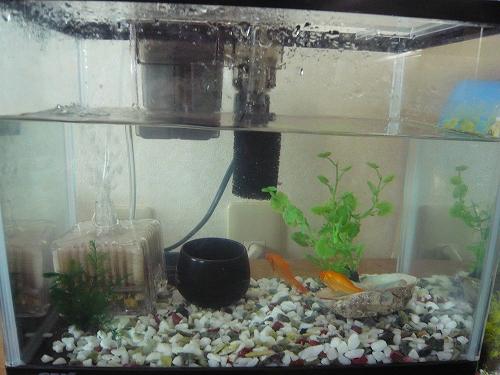 金魚 (15)