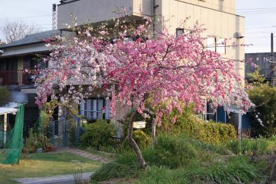 2011.4.19 掛川 桜