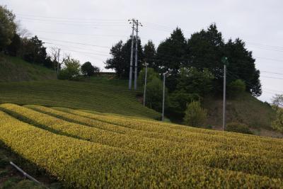 2011.4.19  掛川 茶畑