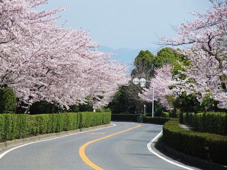 桜通り01