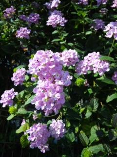 散歩途中のピンクの花
