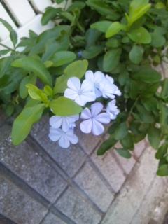 散歩途中のブルーの花