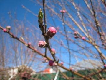 桃のつぼみ