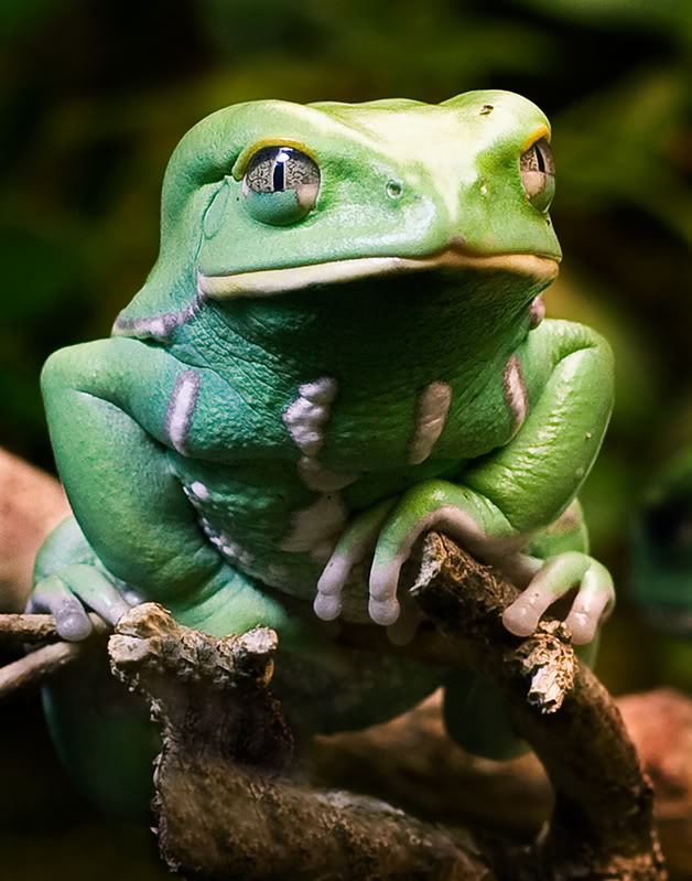 Waxy Monkey Tree Frog-2