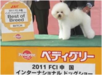 ビション・フリーゼ♀のBOB犬