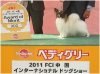 パピヨン♂のAOM犬