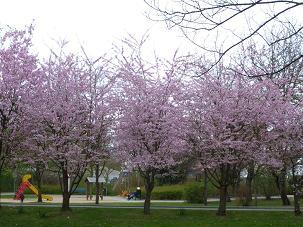 桜並木2012.3.30