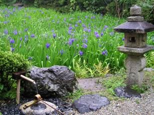 無量寿寺のカキツバタ4