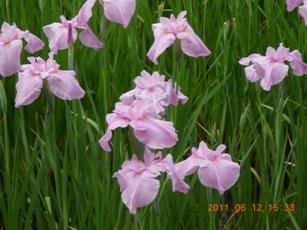 加茂花しょうぶ園1