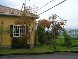 ビストロなかのに咲いているブラシの木