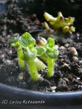 ジャガイモの鉢植え♪