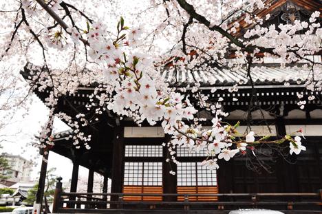 京都さくら1