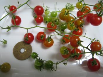 マイクロプチトマト