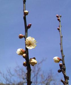 梅の花だより、2月25日