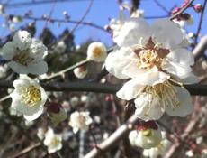 咲き誇る梅の花!