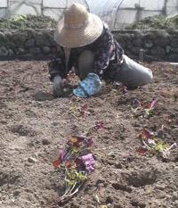 ひと苗一苗、紫蘇を植付けます