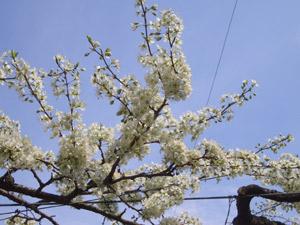 桜の花と同じ時期に咲きます