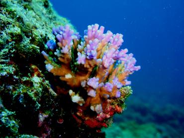 宮古島 サシバ沖 サンゴ