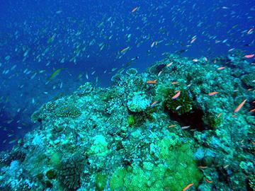 宮古島 がけ下 アカネハナゴイの大群