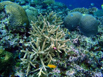 宮古島 狩俣前 サンゴの群生