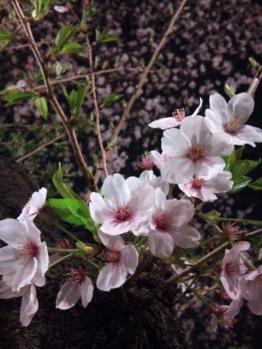 夜桜たくさん