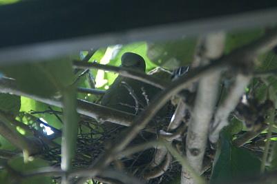 0823-9巣作り中の鳩一羽