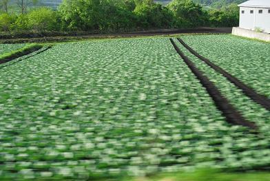 6 嬬恋村のキャベツ畑