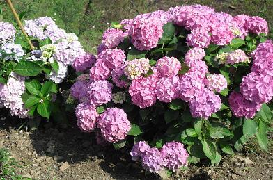 3 紫陽花