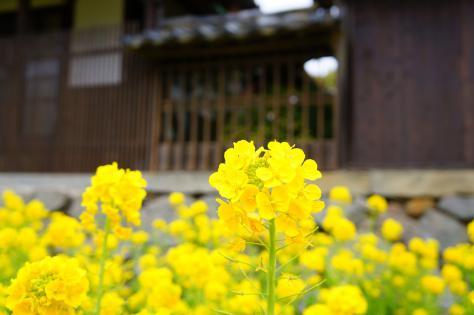 茶室と菜の花