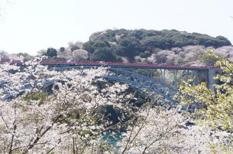 西海橋と桜