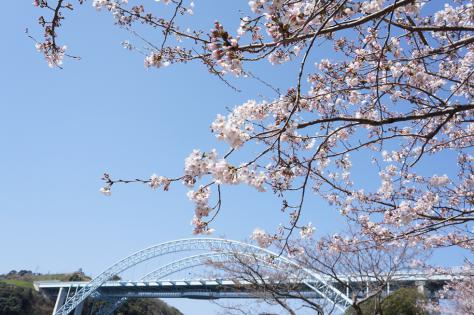 新西海橋と桜