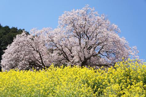 百年桜と菜の花