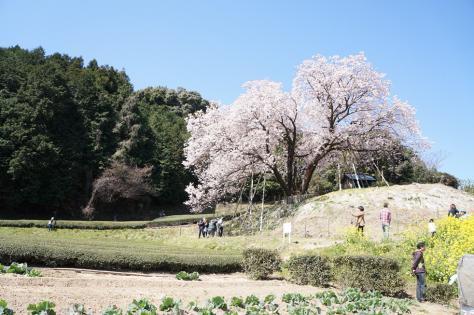 百年桜と人々