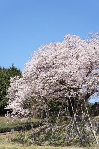 百年桜カット