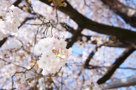 百年桜アップ