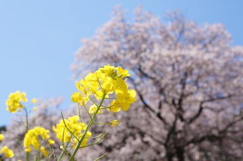 百年桜と菜の花アップ