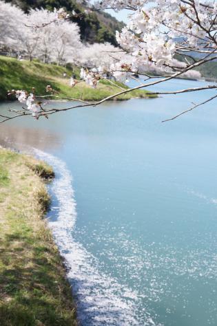 庭木ダム水面の桜と