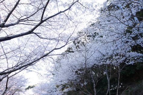庭木ダム桜のアーチ