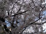 桜1204061