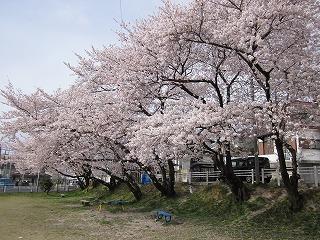 桜の下にはベンチが・・